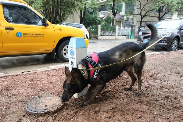 """""""优先""""上岗!武汉首条betway必威体育嗅探犬正式服役"""
